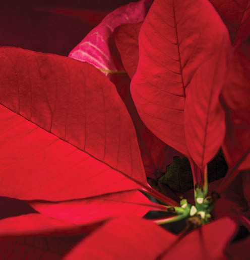 ----Poinsettia_Sale_2018_TILE.jpg
